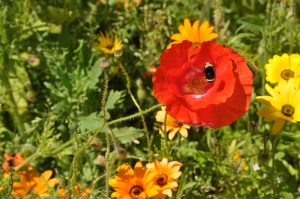 Photograph by Brittany Johnson, ordinarymiracleoflife.com,   Bend, Oregon, flower, poppy seed, nature, inspiration, wellness
